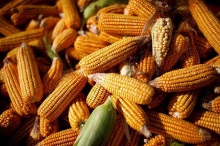 GRAINS-Corn climbs to 8-year excessive, soybeans up on U.S. climate worries