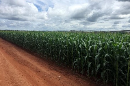 Frosts seen hurting Brazil corn; smaller threat for sugar cane, espresso