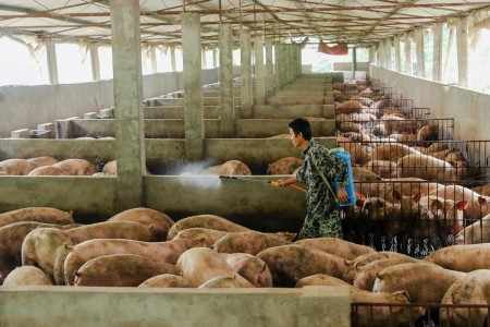 Swine fever surge hits small farms in China's Sichuan
