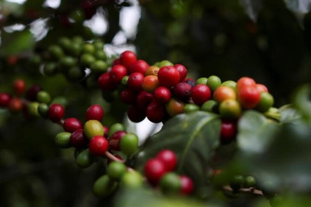Brazil espresso frost sparks default fears, crop restoration might take years
