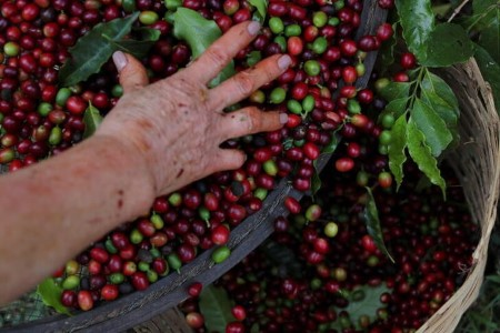 SOFTS-Arabica consolidates off seven-year peak