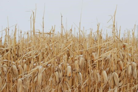 COLUMN-Commerce biases for U.S. corn, soy yields counsel potential shock in retailer -Braun