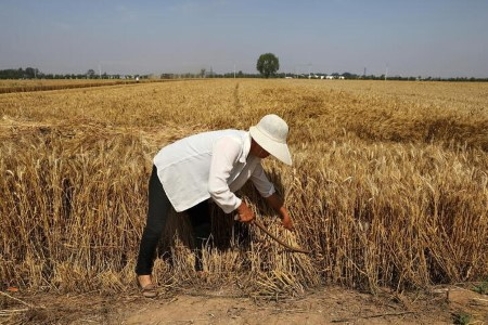 Asia wheat crunch to persist as farmers maintain off for higher costs