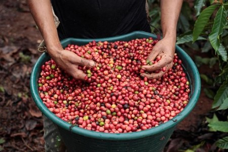 SOFTS-Robusta espresso hits four-year excessive, London cocoa scales six-month peak